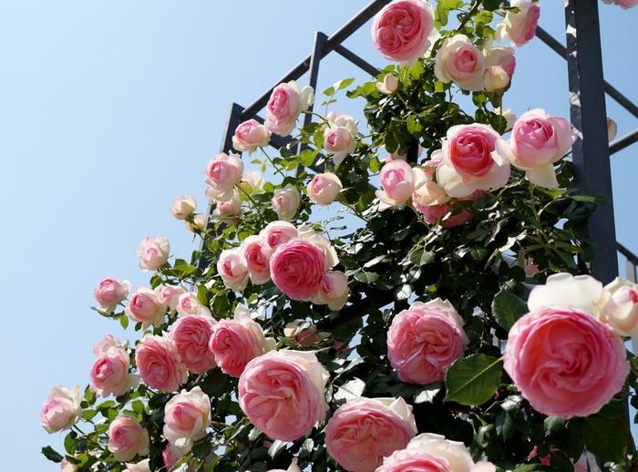広大な敷地には世界中のバラが約89品種、4,000株程植えられいます。園内には「バラの庭」「バラの小みち」「バラの広場」と3つのエリアがあり、植えられ方も様々です。入園料とか特に必要なく、時間や時期も決められていない自由な広場です。