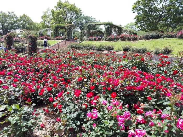 かのやばら園は、鹿児島県鹿屋市の霧島が丘公園にある広大なバラ園です。8ヘクタールある敷地の中には50,000株のバラが咲き誇り、春と秋にはバラのイベントも開かれています。