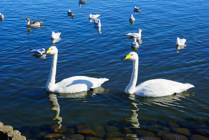 偕楽園駅 から 0.2 km、多くの種類の野鳥がいることで有名な憩いのスポット湖千波湖(せんばこ)。1周約3kmのひょうたん型の湖では、貸しボートやレンタサイクル、森でのフィールドアスレチックなどのアクティビティも充実しています。
