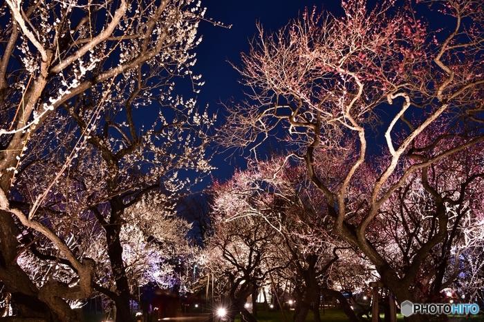 3月上旬から中旬にかけて夜間はライトアップもされ、幻想的な光景が展開されるので、一日かけてゆっくりと楽しめそう。