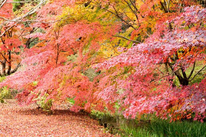 梅のシーズンに次いで人気のある紅葉シーズン。偕楽園のもみじ谷では、夜間のライトアップも楽しめます。