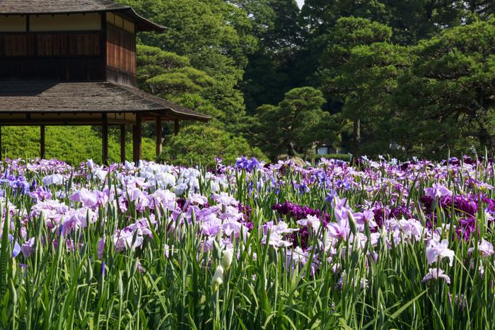 6月上旬には、80品種3000株の花菖蒲畑で、色とりどりのハナショウブが見ごろを迎えます。梅雨の時期にかかりますが、雨に濡れたハナショウブもまたしっとりとした趣があり、雨でも散策が楽しめそう。