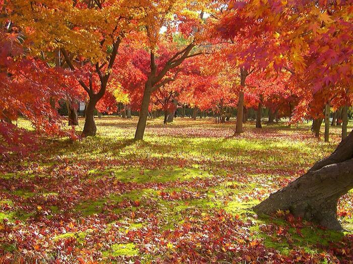 11月中旬~12月上旬の後楽園は約250本のカエデ、イチョウやサクラなどの紅葉を堪能できます。中でも人気の紅葉スポットは100本ものカエデが美しく色づく「千入の森(ちしおのもり)」。