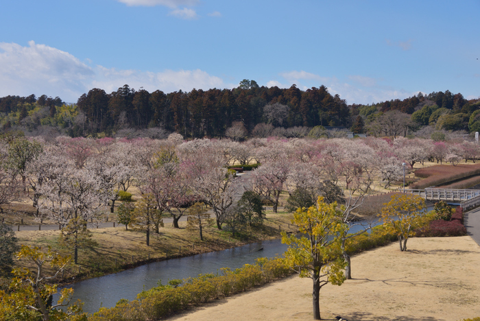 梅の季節は、偕楽園内の約100種3,000本の梅が春の訪れを告げ、2月下旬から3月下旬にかけて「梅まつり」が開催され、芳香漂う園内は多くの人で賑わいます。