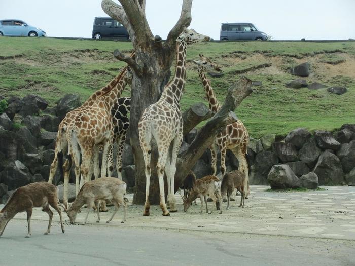 大型の動物たちも、アフリカンサファリでは多数飼育されています。見上げるほどのキリンも車で至近距離まで近づくことができます。お子さんと一緒に周れば、興奮すること間違いなし。
