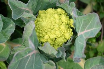 ロマネスコは、ビタミンCの含有量が豊富。食物繊維もたっぷりですから、女性にはうれしい野菜です。また、旬は11月から4月上旬にかけて。冬から春のホームパーティーにおすすめのおしゃれ野菜です。