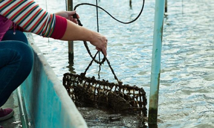 びわ湖真珠の浜上げは年に一度、12~1月の間に行われる。びわ湖真珠は、貝を育てるのに最低3年、その後オペをして湖に戻し、さらに3年かけて計6年。ようやく真珠が収穫される(写真:神保真珠商店)