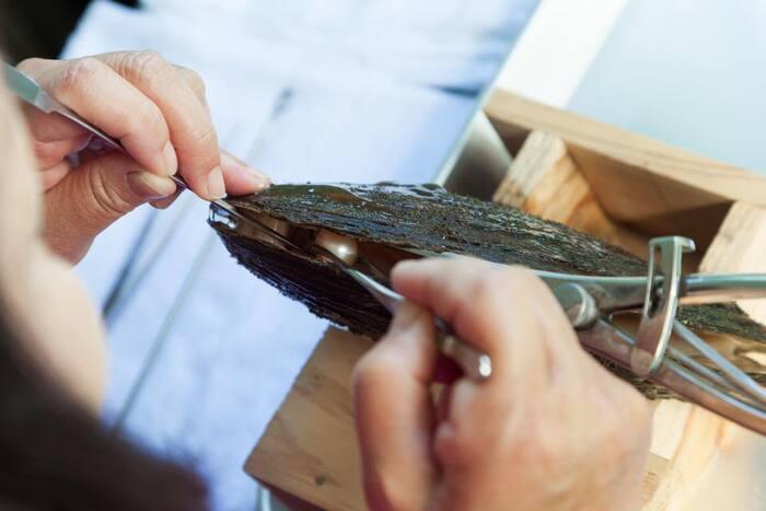 びわ湖真珠は貝を育てるのに長い時間がかかるため、貝を殺さないよう手作業で丁寧に真珠を取り出す収穫方法もある。腕の高い職人だと、同じ貝で4回も真珠を取り出すことができるのだそう(写真:神保真珠商店)