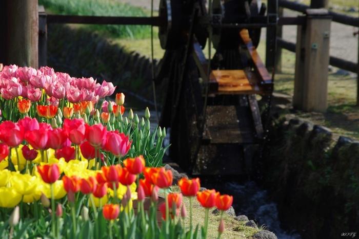 たくさんのチューリップが咲き乱れる「砺波チューリップ公園」。4~5月にかけて開催されるチューリップフェアには、毎年多くの観光客が訪れます。オフシーズンは季節の花々を使った展示を実施。カフェやお土産屋さんもあり、のんびり散歩しながら過ごすのにぴったりの場所です。