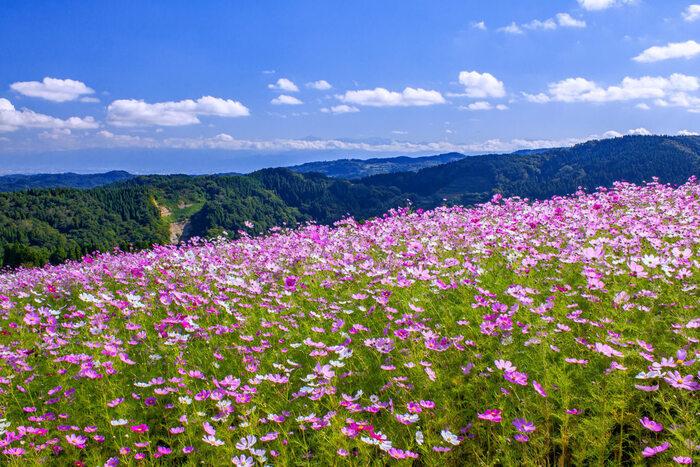 散居村やチューリップフェアなど、ホテル周辺にも魅力的なスポットが多い、越中となみ野温泉。車で約25分の場所にある「となみ夢の平スキー場」からは、砺波平野や富山湾、立山連峰を見渡すことができます。冬場のスキーはもちろん、オフシーズンはスイセンやコスモスなど季節の花々が咲き乱れる絶景ポイントです。