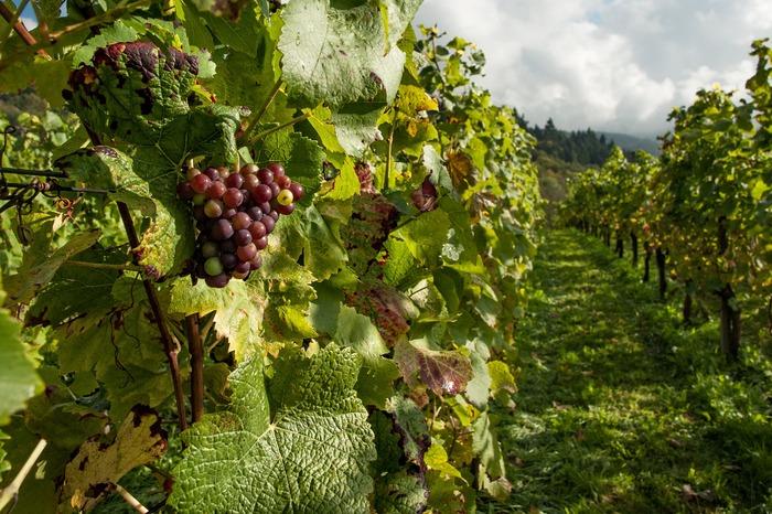 バルサミコ酢の原料は、ブドウ。ブドウの果汁を煮詰めて熟成させて作る贅沢なお酢。  ワインビネガーより濃厚な味わい。他のお酢と違って、煮詰めることで酸味が飛ぶため、甘みと味の奥行きを深くしていただける、奥深いお酢なんですよ。