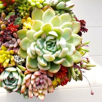 多肉植物は紅葉するものもあり、ぎゅっと寄せ植えするとスイーツのように可愛いですよ。友人を招いたおもてなしのテーブルに飾ったら、会話も弾みそう。