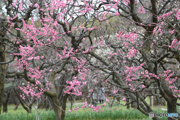1970年に大阪万博が開催された会場の跡地に造られた大阪府吹田市にある万博記念公園の梅林には、約680本の梅が植樹されています。