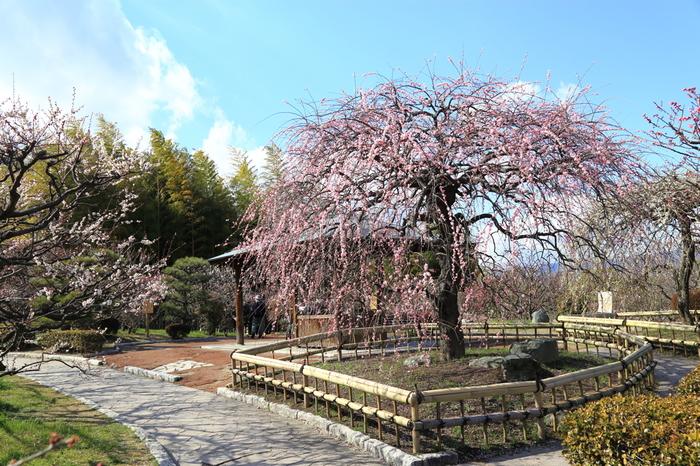 広々とした敷地には大きな枝垂れ梅が美しく花を咲かせます。抜けるような青空、満開の枝垂れ梅が織りなす風景の美しさは、まるで一幅の掛け軸のようです。
