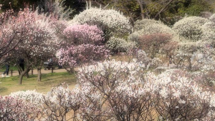 大阪府堺市南区に位置する荒山公園には、約2.8万平方メートルの敷地を誇る大きな梅林があります。