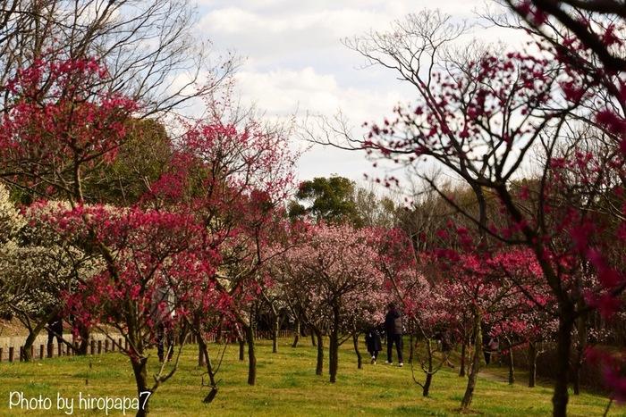 荒山公園には、紅千鳥、浮牡丹、白加賀、月宮殿をはじめ、50種類以上の梅の木が植樹されています。