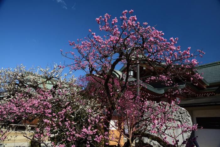 桃色の梅の花と白い梅の花のコントラストが美しく、北野天満宮境内では、錦絵のような風景が広がっています。