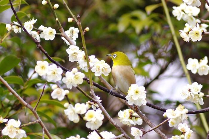 梅林には、メジロも訪れています。梅の木で蜜を吸うメジロの姿は愛らしく、参拝者を思わず笑顔にしてくれます。