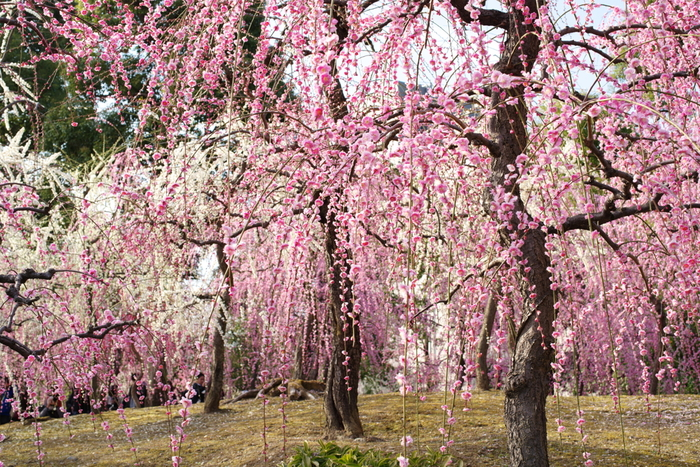城南宮は、京都市伏見区に鎮座する車のお祓いなどの御利益で知られている神社です。ここは、枝垂れ梅がたくさん植樹されていることが有名で、桃色のカーテンに包まれたような風景を臨むことができます。