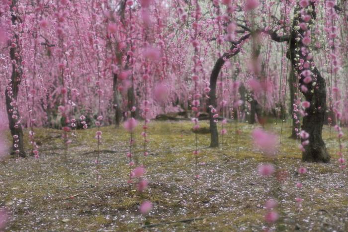 枝垂れ梅が競うように咲き誇り庭園内を豪華絢爛に彩っている様は美しく、まるで初春そのものが舞い降りてきたかのようです。