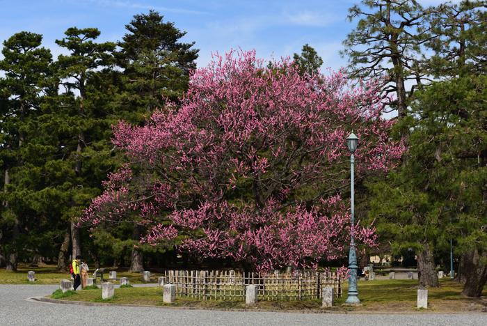 京都御所、仙洞御所、京都大宮御所などを取り囲む京都御苑は、周囲約4kmにも及ぶ広大な敷地を持つ公園です。