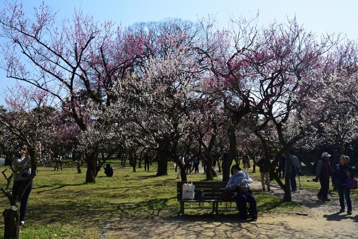 梅林内には紅梅をはじめ、約20種類にも及ぶ梅の木が競うように花を咲かせています。