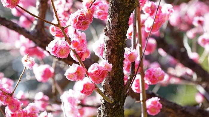 梅林では、八重咲きをする梅など珍しい品種の梅の木を見かけることができます。ちょっと変わった梅の花を探しながら梅林を散策してみるのもおすすめですよ。