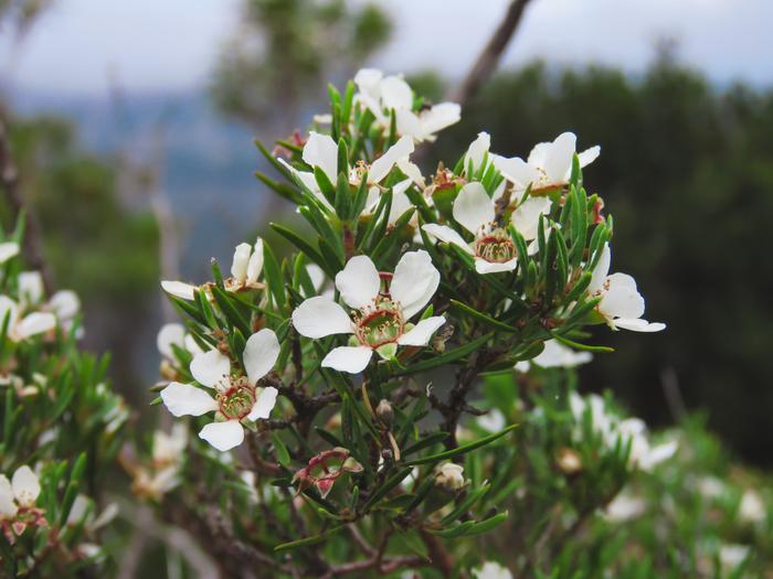「マヌカハニー」とは、主にニュージーランド、オーストラリアに自生する「マヌカ」(学名:ギョリュウバイ)の花の蜜で作られたハチミツのこと。  フトモモ科の低木で、小さく可愛らしい花が咲きますが、なんと、開花するのは1年のうちおよそ4週間前後のみ!そのため、ハチミツを採取できる時期に限りがあり、非常に貴重なものなんですよ。