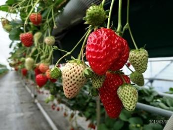 とちおとめ・スカイベリー・紅ほっぺ・やよいひめが30分食べ放題。大粒のいちごはみずみずしく、品種ごとに違う味を堪能できますよ。高設栽培と土耕栽培で育てていますが、高設栽培は立ったままいちごを摘むことができるので、車椅子やベビーカーでもOKです。