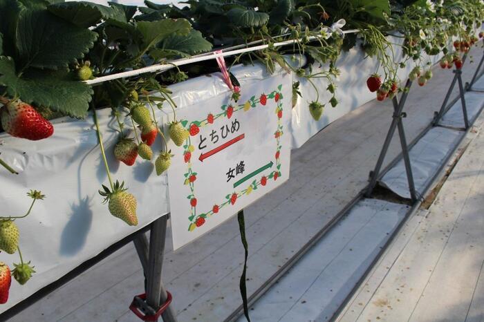 全長100メートルのハウスでは、わかりやすく品種が表示されています。高設栽培で、かがまず楽に摘み取れるのも人気ポイント。