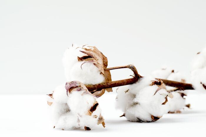秋冬のフラワーアレンジに、ぜひ使いたい「コットンフラワー」は、洋服などに使われる「綿」の実。ふわふわで白く温かみのある花材です。ドライフラワーなので、日持ちを気にすることなく長く楽しめます。