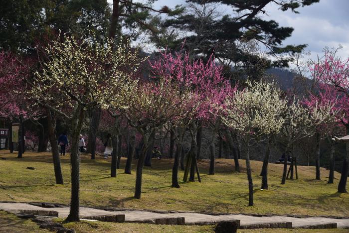 片岡梅林は、奈良県を代表する観光名所、奈良公園内にある梅林です。ここでは、紅梅、白梅などを中心に約250本の梅が植樹されています。