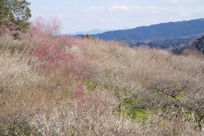 月ヶ瀬尾山と五月川沿いに広がる梅林には、約13000本もの梅が植樹されています。梅が見頃を迎えると、山肌は淡いピンク色に染まり、私たちが思い描く桃源郷のような景色が現れます。