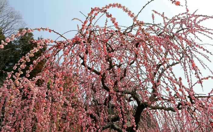 満開に咲き誇る枝垂れ梅の下に立ってみましょう。淡いピンク色の花が空を覆いつくす様は、まるで初春そのものが舞い降りてきているかのようです。