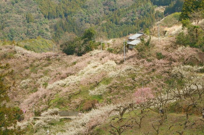 加名生梅林では、「一目千本」「見返り千本」など、桜の名所として名高い吉野山に因んだ梅の名所がたくさんあります。梅の名所から眺める加名生梅林では、日本一の桜の名所として名高い吉野山を彷彿とさせる景色を臨むことができます。