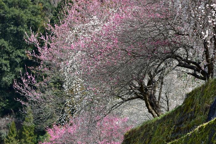 広橋峠の北側傾部分、約25ヘクタールにおよぶ広大な梅林、広橋梅林は、月ヶ瀬梅林、加名生梅林と並んで奈良県三大梅林と言われる梅の名所です。ここでは、約5000本の梅が植樹されており、初春になると梅が見ごろを迎えます。