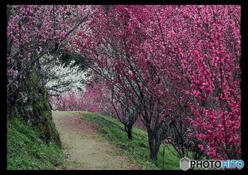 広橋梅林にはよく整備された散策路があります。梅のトンネルとなっている散策路を歩く気持ち良さは格別です。