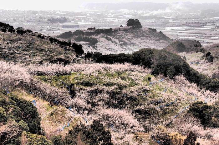 なだらかな傾斜地に約80000本もの梅が一斉に開花している様は壮観です。ここでは、大地に淡いピンク色のベールを広げたかのような景色が現れます。
