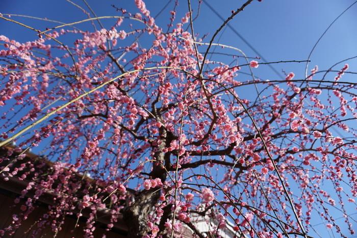 梅の産地として有名な和歌山県みなべ町には、日本最大級の梅林、南部梅林があります。この梅林は農業用の梅林ですが、梅が見ごろを迎える時季になると梅まつりが開催され、大勢の花見客で賑わいます。