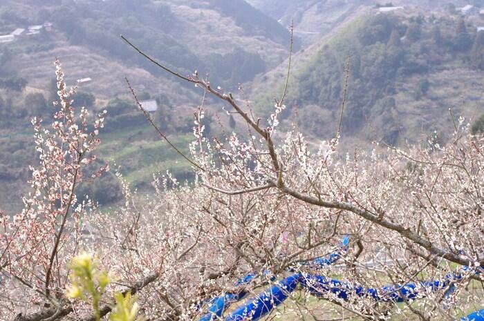 紀州田辺梅林は、和歌山県有数の梅の産地、田辺市を代表する梅林です。ここは、標高300メートルの高原に位置しており、すり鉢状に梅林が広がっています。