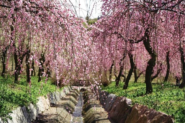 いなべ市梅林公園は、三重県北部にある農業公園で紅、白、ピンクなど様々な種類の梅が植樹されています。