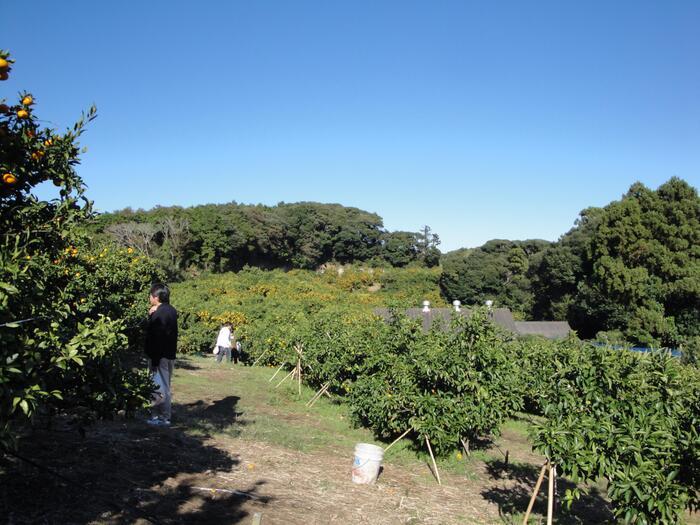 10月から4月にかけて、温州みかんや柚子、すだちやきんかんなどさまざまな柑橘類のもぎ取りができる「千倉オレンジセンター野宮農園」。時期によって違う種類の柑橘類が楽しめると人気の農園です。