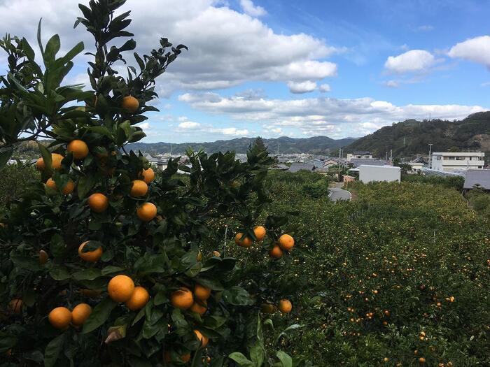 和歌山県有田市の「有田みかん」は、永享年間から栽培されている全国生産量の約1割を占めます。その有田みかんの食べ放題ができるのが「栗山園」。海からのおだやかな風と南の太陽が作り出す、甘くて香りの高いみかんが評判です。期間は、10月上旬~12月中旬まで。