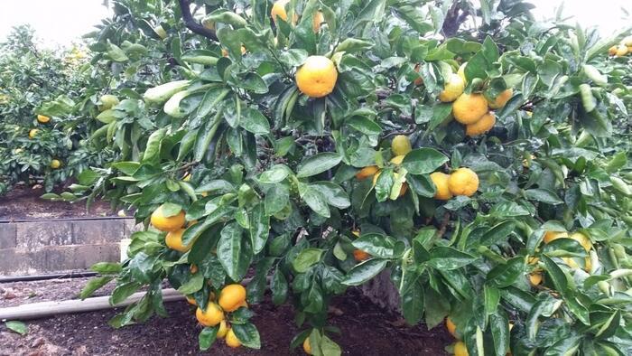 2.5ヘクタールの敷地で約2,500本のみかんを栽培している「水本オレンジガーデン」。天然ミネラル塩や海草ミネラル、大豆エキスを使った特殊栽培によって、他のみかん農園では味わえない高品質のみかんが楽しめると人気を集めています。