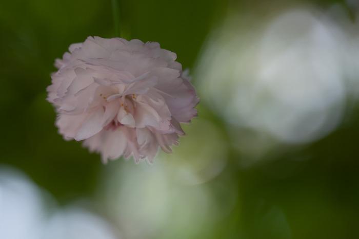 兼六園菊桜は、1つの花に300枚以上もの花びらを咲かせる桜の木です。花の形が菊に似ていることから「兼六園菊桜」と名付けられました。開花時期はソメヨシノなど一般的な桜よりも遅く4月下旬から5月上旬にかけての約2週間程度となります。