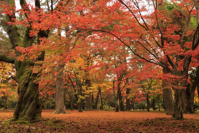 秋になると兼六園では落葉樹の樹々が紅葉します。敷地内には、落ち葉の絨毯を敷き詰めたような風景が現れます。