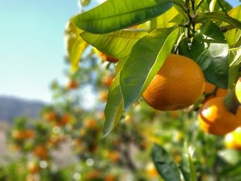高知県南東部の香我美町にある「土佐の高知のくだもの畑」では、8ヘクタール畑に18,500本低農薬のみかんを栽培しています。みかん狩りは10月~12月まで、背の低い樹ばかりなので子供たちももぎとりやすいのも特徴。前半は「日南早生品種」後半は「興津早生品種」など、時期によって異なる温州みかんが味わえます。