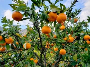 愛媛県宇和島市吉田町にある「清家農園」では、無農薬に近いエコファーマー認証の安心安全なロハスみかんを栽培しています。のどかな農園で、スローなみかん狩りを楽しんでみませんか?期間は、10月~12月まで。(事前に要電話予約)
