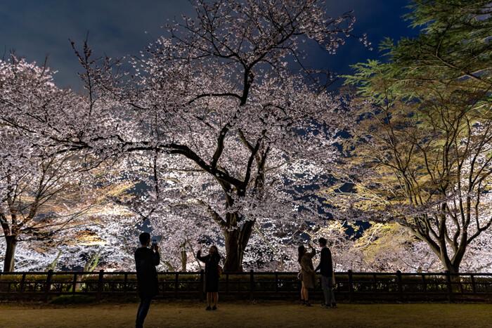 桜の季節になると、金沢城の桜にはライトアップが施されます。桜のシーズンに金沢城を訪れると夜桜鑑賞を楽しむこともできます。