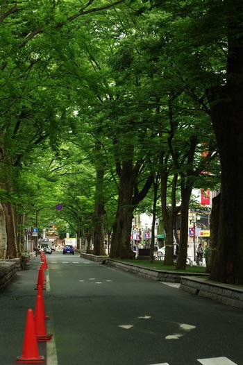 まず、ご紹介するのが、府中市の中心、府中駅前のメインストリート。けやき並木が大きくそびえたちます。これは源頼義・義家により1000本の苗が送られたことから始まったと言われ、現在もその時代のけやきが数本残されいるんだとか。カエデなどの樹木と並んで一本道を美しく彩ります。